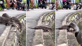 Nervous otter pups get swimming lesson at botanical gardens