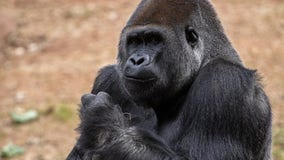 Nearly all gorillas at Atlanta's zoo test positive for COVID