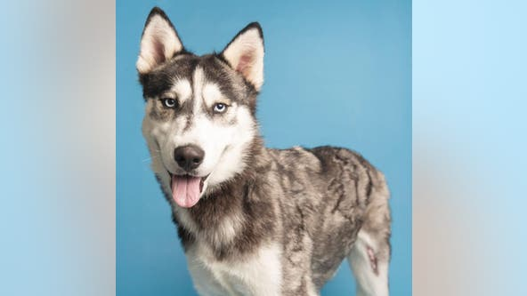 Husky that suffered large burns in search of 'fur-ever' home