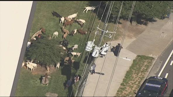 Herd of goats found wandering in Buckhead