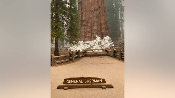 Fire crews wrap California's giant sequoias in aluminum to protect from flames