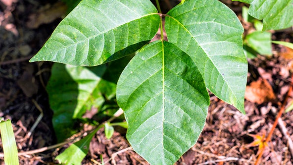 Scientists make progress on poison ivy vaccine, report says