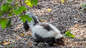 Skunks test positive for rabies in Flagstaff's Greenlaw, Coconino Estates areas