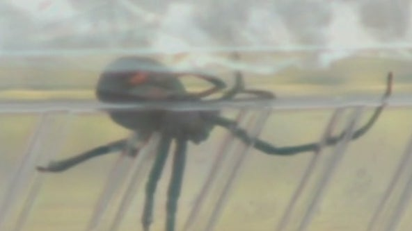 Phoenix residents report black widow sightings: What you need to know