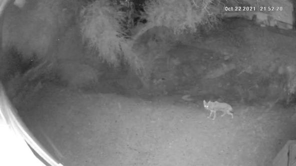 Phoenix cat chases away coyote from his home