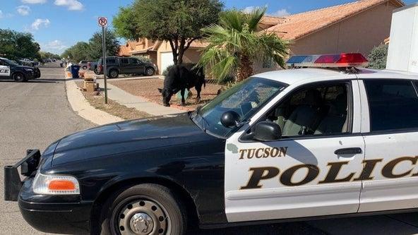 Ranchers help corral bull roaming Rita Ranch neighborhood in Tucson