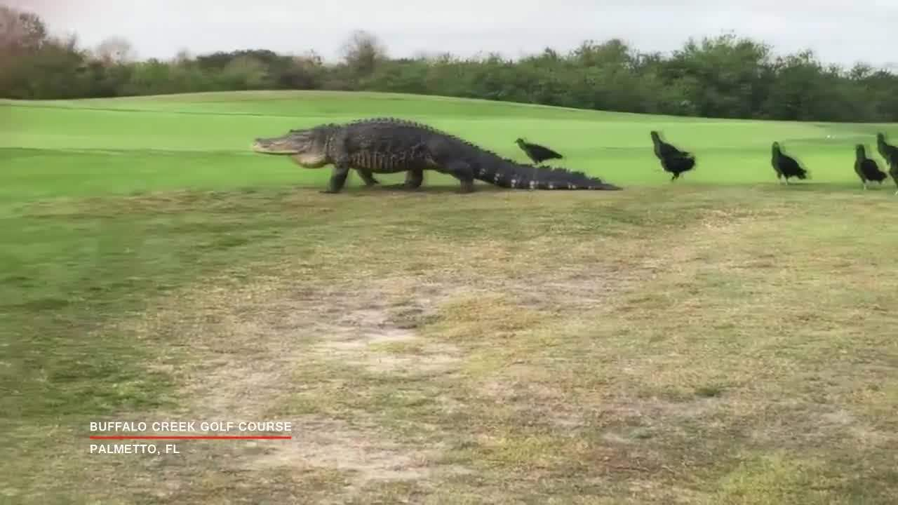 Massive Gator Spotted At Palmetto Golf Course Again