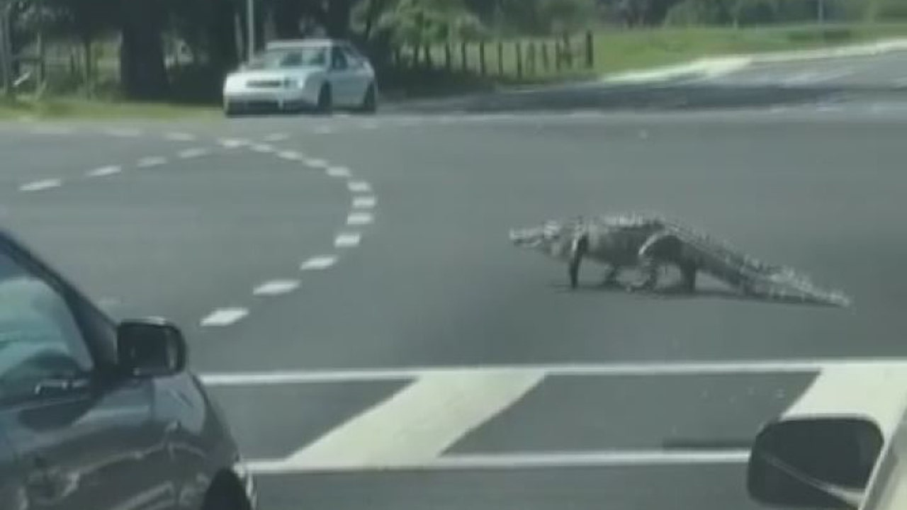 WATCH: Alligator crosses the road because Florida