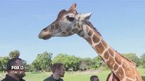 Busch Gardens reopens safari tour of Serengeti Plain