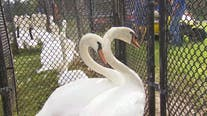 Time for a check-up: Annual Lakeland swan roundup enters 39th year
