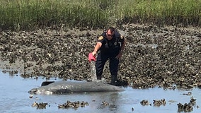 Manatee rescued from muddy, shallow water in St. Augustine