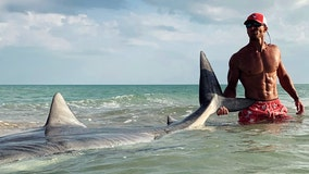 Fisherman catches and releases massive tiger shark off Sanibel