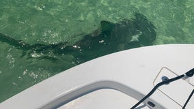 Watch: Hammerhead shark spotted near Pasco Sheriff's Office boat