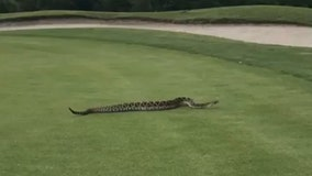 Huge rattlesnake spotted on golf course green in St. Pete