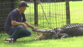 How this gargantuan gator became a Pasco County family's pet