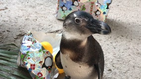 Penguins celebrate first birthday at ZooTampa