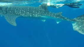 Video: Spearfishing trip turned into underwater adventure with whale shark