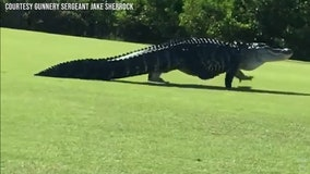 """Monster"" alligator spotted on MacDill AFB golf course"