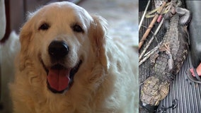 Dog escapes alligator's jaws thanks to owner's dad