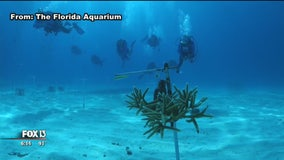 Florida scientists announce coral breeding breakthrough; could save global reefs