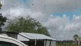 Videos: Lovebugs swarm in Sebring