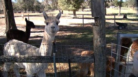 Sweet Blossom farm is where dozens of alpacas roam -- each with their own personality