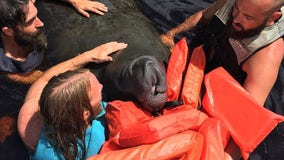 Strangers join forces to rescue distressed manatee in Venice waterway