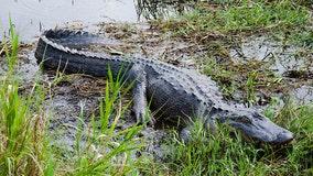 Alligator hunting season gets underway in Florida