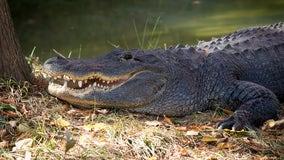 Texas father saves children, babysitter from massive 600-pound alligator