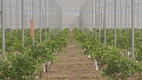 Growers test new method to fight citrus greening