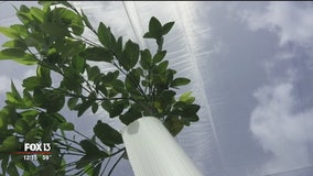 Growers battle citrus greening with giant tent