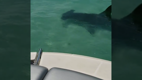 Video shows hammerhead shark circling boat near Anna Maria Island