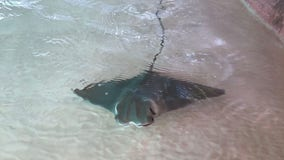 Cownose ray pup makes a splash at Mote Aquarium