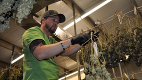 Behind the scenes at Apollo Beach's medical cannabis operation