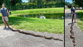 Nearly 18-foot Burmese python captured in South Florida