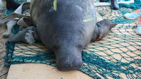 Florida congressman urges feds to reverse decision to downgrade manatees from 'endangered' to 'threatened'