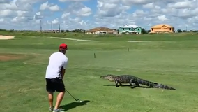 7-foot alligator walks across green near golfer at Central Florida country club