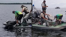 Trapper catches alligator that was chasing swimmers in Pasco County