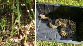 Diamondback rattlesnake removed from Wesley Chapel man's backyard