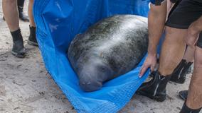 Orphaned manatee 'Buckeye' back in the care of SeaWorld Orlando