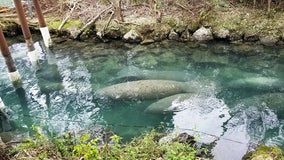 Hundreds of manatees seek warmth in Three Sisters Springs