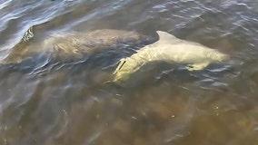 Manatees and dolphin swim together near Weeki Wachee