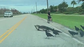 Gator, vultures stop traffic to cross South Florida road