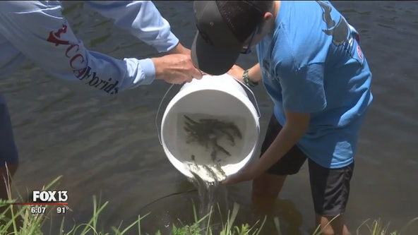FWC extends red tide catch-and-release for snook, red drum, spotted seatrout