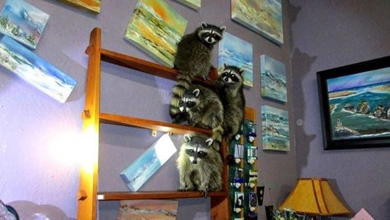 aee16c36-raccoons in gallery.jpg