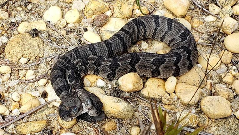 210791f1-2 headed rattlesnake_1568022700775.jpg.jpg