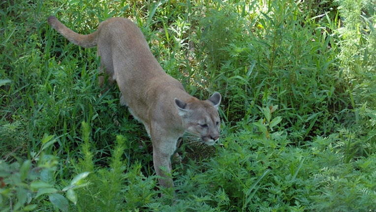 8f3fa34c-Florida panther prowling (file)
