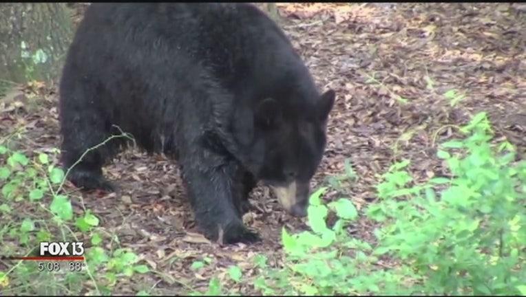 Bear_hunt_begins_Saturday_despite_protes_0_20151023222829