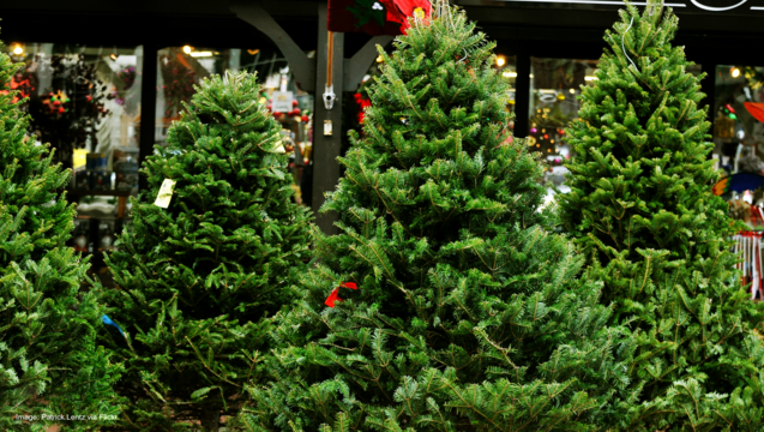 67508250-Christmas trees in tree lot-404023