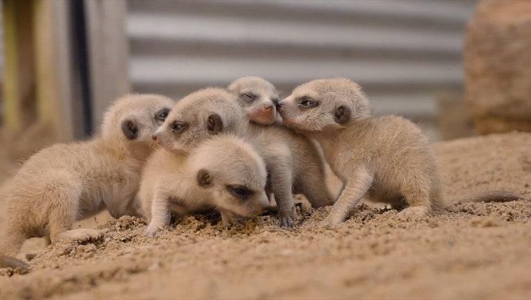 03cc87e2-Five_baby_meerkats_fit_in_palms_of_zooke_0_20181002104714